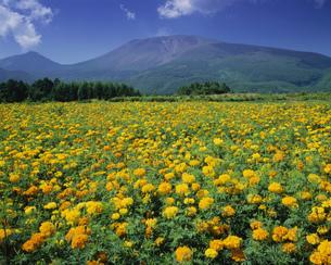 マリーゴールドと浅間山の写真素材 [FYI03994666]