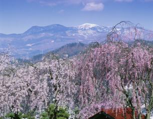 シダレザクラと蔵王連山の写真素材 [FYI03994690]