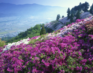 つつじ咲く富士山(トミスヤマ)の写真素材 [FYI03994716]