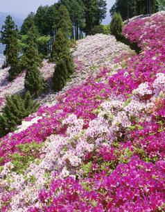 つつじ咲く富士山(トミスヤマ)の写真素材 [FYI03994717]