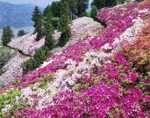つつじ咲く富士山(トミスヤマ)の写真素材 [FYI03994719]