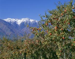 リンゴ畑と中央アルプスの写真素材 [FYI03994753]