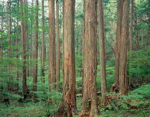 木曽のひのき林 赤沢自然園の写真素材 [FYI03994767]
