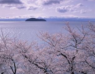 桜と竹生島と琵琶湖の写真素材 [FYI03994814]