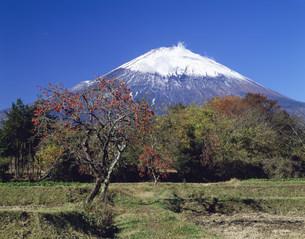 柿の木と富士山の写真素材 [FYI03994845]