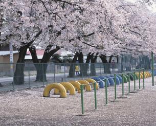 桜散る小学校の校庭の写真素材 [FYI03994864]