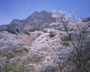 桜と妙義山下仁田町さくらの里の写真素材 [FYI03994897]