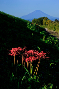 荒川河川敷の彼岸花と富士山の写真素材 [FYI03994934]
