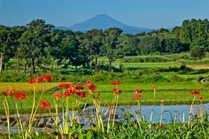 荒川河川敷の彼岸花と富士山の写真素材 [FYI03994936]
