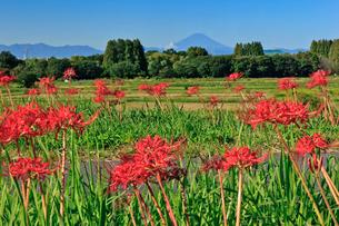荒川河川敷の彼岸花と富士山の写真素材 [FYI03994942]