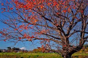 桜の紅葉と富士山 見沼田んぼの写真素材 [FYI03994948]