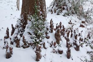 雪のラクウショウ(ヌマスギ)の呼吸根の写真素材 [FYI03995046]