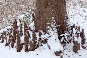 雪のラクウショウ(ヌマスギ)の呼吸根の写真素材 [FYI03995048]