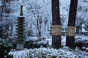 雪の松のこも巻きのある日本庭園 大宮公園の写真素材 [FYI03995081]
