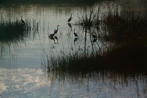 夜明けの水辺に集うサギたち 芝川第一調整池 見沼田んぼの写真素材 [FYI03995099]