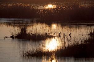 日の出浴びる水辺に集うサギたち 芝川第一調整池 見沼田んぼの写真素材 [FYI03995159]