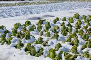 雪の白菜の畑 見沼田んぼの写真素材 [FYI03995174]