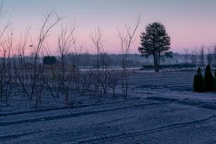 霜に覆われる明け行く植木畑、見沼田んぼの写真素材 [FYI03995183]