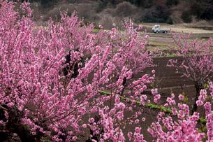 花咲く桃の畑と軽トラック 見沼田んぼの写真素材 [FYI03995216]