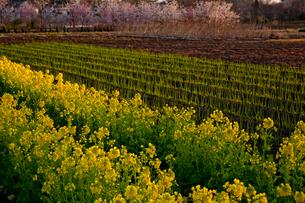 朝日さす菜の花咲く畑と桜 見沼田んぼの写真素材 [FYI03995238]