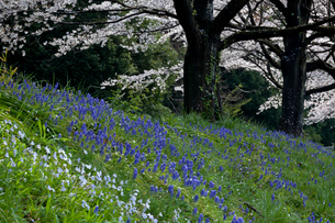 ハナニラとムスカリと見沼代用水東縁の桜並木の写真素材 [FYI03995258]