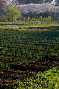 朝の光さす若葉の畑と見沼代用水東縁の桜並木の写真素材 [FYI03995276]