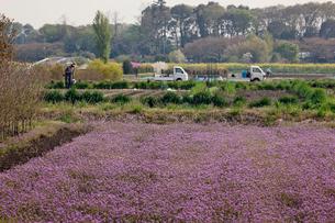 ホトケノザに覆われる畑と農作業の人たち 見沼田んぼの写真素材 [FYI03995301]