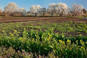 花咲きそろうモクレンの並びとの咲き始めの菜の花 見沼田んぼの写真素材 [FYI03995307]