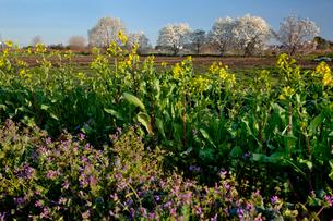 花咲きそろうモクレンの並びとの咲き始めの菜の花とホトケノザ の写真素材 [FYI03995313]
