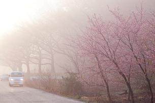 桜と霧の中を行く軽トラック 見沼田んぼの写真素材 [FYI03995341]