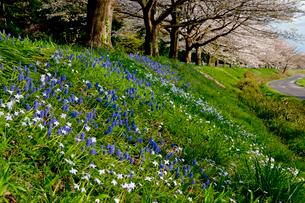 ムスカリとハナニラと見沼代用水東縁の桜並木の写真素材 [FYI03995395]