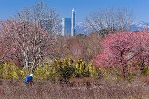 紅梅の咲く畑と農作業の人とさいたま新都心ビル群の写真素材 [FYI03995409]
