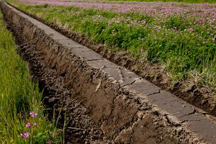 レンゲソウ咲く田んぼに切られた畦 見沼田んぼの写真素材 [FYI03995424]