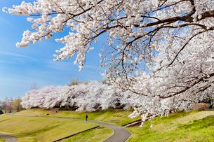 桜咲く大宮第二公園の写真素材 [FYI03995435]