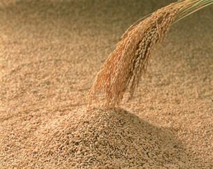 稲穂とモミ米の写真素材 [FYI03995440]