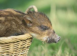 うりぼう(猪の子)の写真素材 [FYI03995452]