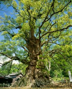 新緑の大楠の写真素材 [FYI03995483]