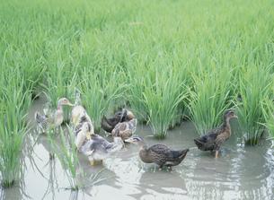 あいがも農法の水田の写真素材 [FYI03995511]