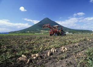 さつまいも収穫風景の写真素材 [FYI03995533]