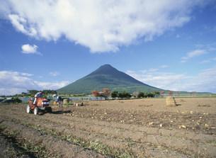 さつまいも収穫風景の写真素材 [FYI03995534]