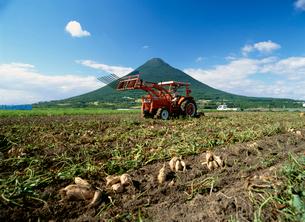 さつまいも収穫風景の写真素材 [FYI03995536]