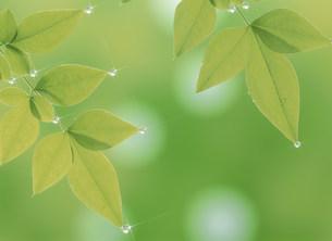 新緑と水滴の写真素材 [FYI03995646]