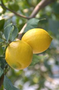 レモンの写真素材 [FYI03995842]