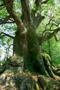 蒲生の大楠の写真素材 [FYI03995907]