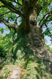 蒲生の大楠の写真素材 [FYI03995908]