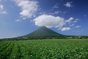 さつまいも畑と開聞岳の写真素材 [FYI03995910]