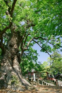 蒲生の大楠の写真素材 [FYI03995913]