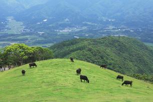 亀ヶ丘牧場の黒牛の写真素材 [FYI03995981]