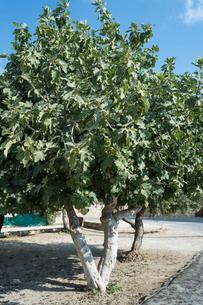 アフロディテ女神の聖地のマルメロの木の写真素材 [FYI03996669]
