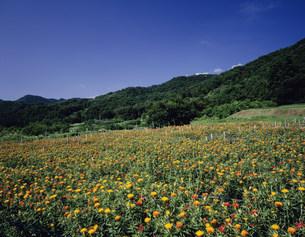 紅花畑の写真素材 [FYI03997447]